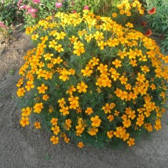 Aksamitka wąskolistna Orange Gem-Tagetes tenuifolia