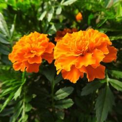 Aksamitka rozpierzchła Petite Orange