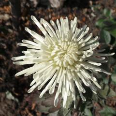 Aster igiełkowy Beata-Callistephus chinensis fl.pl.