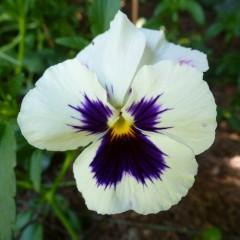 Bratek szwajcarski biały-Viola wittrockiana