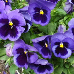 Bratek szwajcarski ciemnoniebieski-Viola wittrockiana