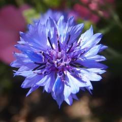 Chaber bławatek wysoki mix-Centaurea cyanus fl. pl.
