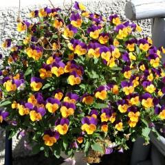Fiołek rogaty Bambini-Viola cornuta