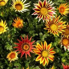 Gazania wielkokwiatowa Chansonette mix-Gazania hybrida