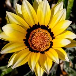 Gazania błyszcząca Sunshine