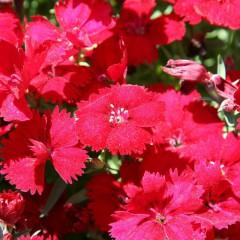Goździk brodaty czerwonym-Dianthus barbatus