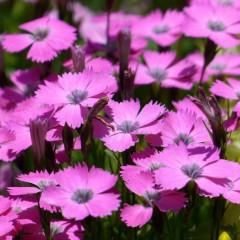Goździk brodaty różowy-Dianthus barbatus