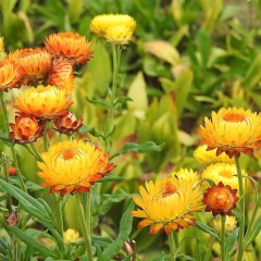 Kocanka niska Tomcio Paluch-Helichrysum monstrosum nana fl. pl.