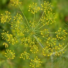 Koper ogrodowy Bouquet-Anethum graveolens