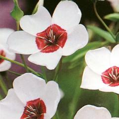 Len wielkokwiatowy-Linum grandiflorum