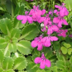 Lobelia przylądkowa Rosamond-Lobelia erinus