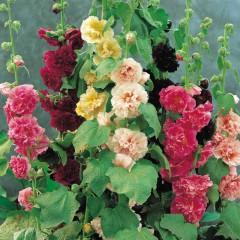 Malwa ogrodowa-Althaea rosea