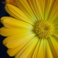 Nagietek karłowy żółty-Calendula officinalis nana fl.pl