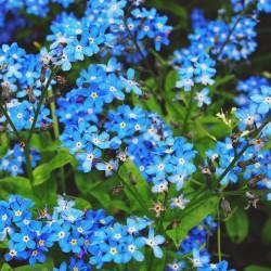 Niezapominajka niebieska