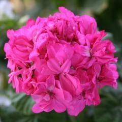 Pelargonia różowa rabatowa-Pelargonium hortorum