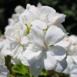 Pelargonia biała rabatowa