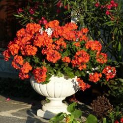 Pelargonia czerwona rabatowa