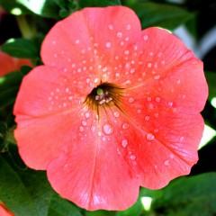 Petunia ogrodowa Kaskada łososiowa-Petunia hybrida grandiflora Supercascade F1