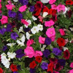 Petunia zwisła wielkokwiatowa mieszanka-Petunia hybrida grandiflora Supercascade F1