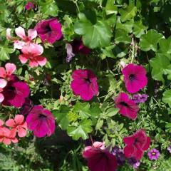 Petunia ogrodowa Kaskada purpurowa-Petunia x hybrida pendula