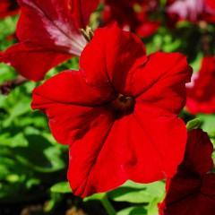 Petunia ogrodowa wielkokwiatowa czerwona-Petunia x hybrida grandiflora