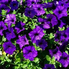 Petunia zwisła wielkokwiatowa fioletowa-Petunia hybrida grandiflora Supercascade F1