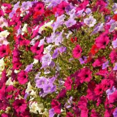 Petunia zwisła wielkokwiatowa purpurowa-Petunia hybrida grandiflora Supercascade F1