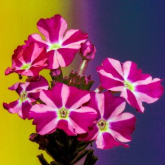 Petunia dwubarwna Starlet F2-Petunia x hybrida
