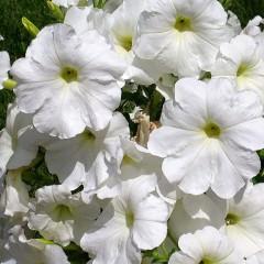 Petunia ogrodowa wielkokwiatowa biała-Petunia x hybrida grandiflora
