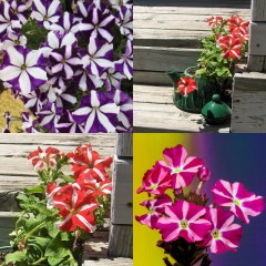 Petunia dwubarwna mix-Petunia x hybrida