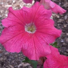 Petunia ogrodowa wielkokwiatowa różowa-Petunia x hybrida grandiflora