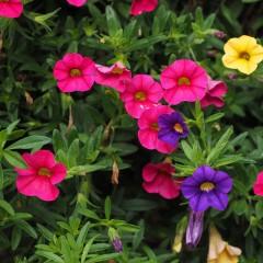 Petunia zwisająca typu surfinia Rubina F2-Petunia x hybrida pendula