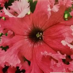 Petunia strzępiasta amarantowa-Petunia x hybrida fimbriata