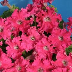 Petunia strzępiasta różowa-Petunia x hybrida fimbriata