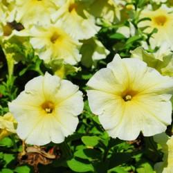 Petunia ogrodowa wielkokwiatowa żółta
