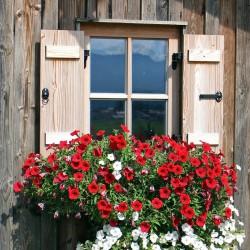Petunia zwisła wielkokwiatowa czerwona