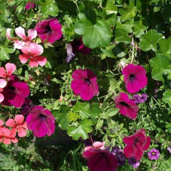 Petunia ogrodowa Kaskada purpurowa
