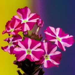 Petunia dwubarwna Starlet F2