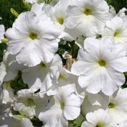 Petunia ogrodowa wielkokwiatowa biała