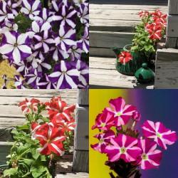 Petunia dwubarwna mix