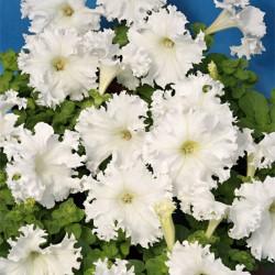 Petunia strzępiasta biała
