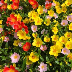Portulaka wielkokwiatowa-Portulaca grandiflora