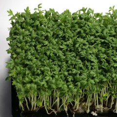 Rzeżucha-Lepidium sativum