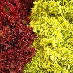 Sałata liściowa Lollo Rossa-Lactusa sativa