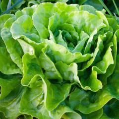 Sałata masłowa Królowa majowych-Lactusa sativa