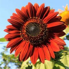 Słonecznik niski czerwony-Helianthus annus