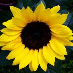 Słonecznik wielokwiatowy niski