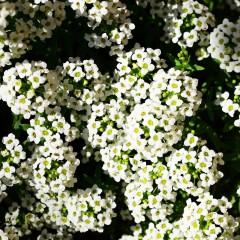 Smagliczka New Carpet-Lobularia maritima