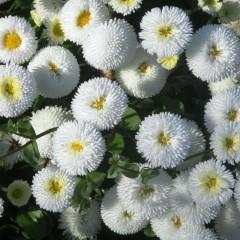 Stokrotka pomponowa biała-Bellis perennis fl. pl. Pomponette