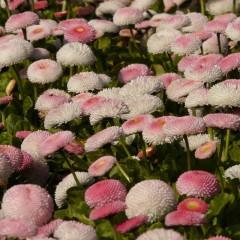 Stokrotka pomponowa różowa-Bellis perennis fl. pl.